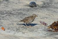 Savannah Sparrow 01