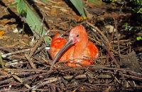 Scarlet Ibis 01