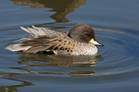 Sharp-winged Teal 01