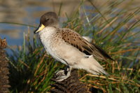 Sharp-winged Teal 02