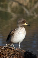 Sharp-winged Teal 03