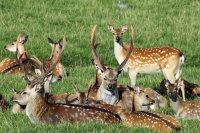 Sika Deer 01