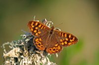 Speckled Wood 01