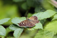 Speckled Wood 02