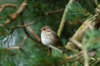 Spotted Flycatcher 02