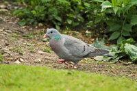 Stock Dove 01
