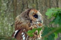 Tawny Owl 01