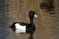 Tufted Duck 01