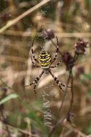 Wasp Spider 01