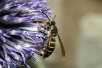 Wasp vespula media 01