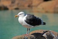 Western Gull 01