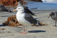 Western Gull 02