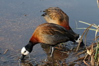 White-faced Whistling Duck 01