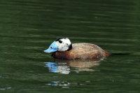White-headed Duck 02