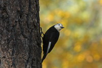 White-headed Woodpecker 01