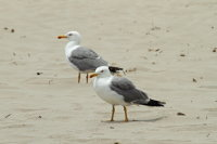 Yellow-legged Gull 01