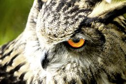 owl frome