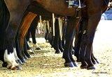Military Horses legs