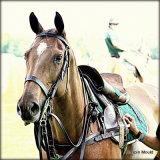 Polo Pony.