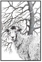 Swaledale Sheep