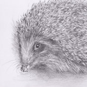 Hedgehog 1