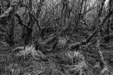 Alder and willow, Ayrshire