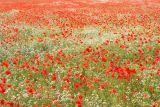 Poppies, England