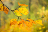 Beech tree, Perthshire