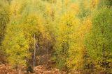 Birch trees, Aviemore