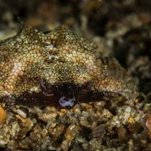 Angry Dragon Sea Moth
