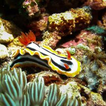 Anna's Chromodoris, chromodoris annae