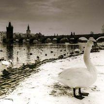 BW Bridge Swans