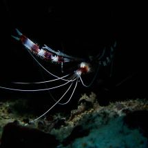 Banded Coral Shrimp in Cave