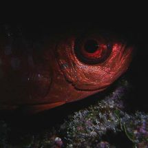 Bigeye in the dark