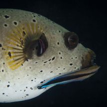 Black Spotted Puffer with Bluestreak Cleaner Wrasse