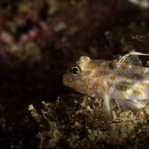 Blotched Goby