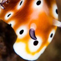 Chromodoris Leopardus close up