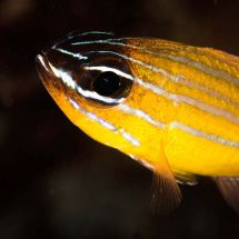 Coral Cardinalfish