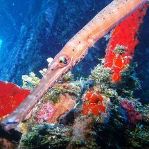 Crying Trumpetfish