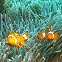 False Clown Anemonefish aka The Real Nemo