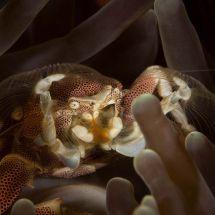 Feeding Porcelain Crab #2