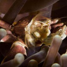 Feeding Porcelain Crab