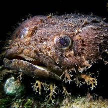 Teddy the Large-Eyed Toadfish