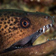 Latticetail Moray Eel