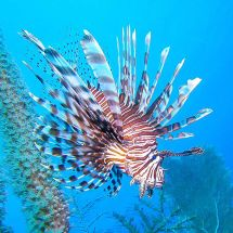 The perfect Lionfish