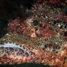 Scorpionfish Koh Phi Phi