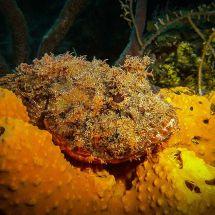 Scorpionfish Roatan