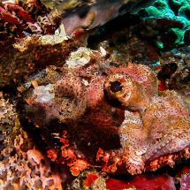 Striking Scorpionfish