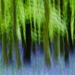 Spring Woods (with Bluebells)
