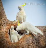 Balmoral Cockatoos